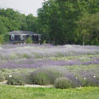 Our Lavender Field